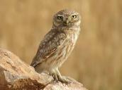 Owls of the desert
