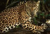 What is a jaguar?
