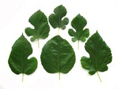 A photo of several types of mulberry leaves.