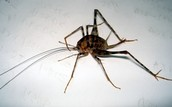The Cave Cricket