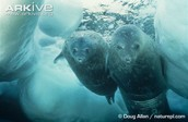 Weddell seal female and pup underwater