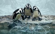 Penguins jumping into the water