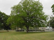Texas state tree