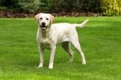 Meet the Labrador Retriever