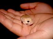Baby Captive Jerboa