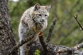 Fun Facts about Bobcats