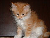 Orange Little Baby Maine Coon Kitten