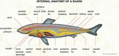 Internal anatomy of a shark
