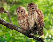 Two Barred owls sitting on a branch