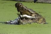 Crocodile eating another crocodile