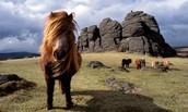 Wild Ponnies of Dartmoor