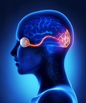 In what ways can blindness affect the structure of the brain while developing?