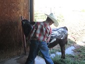 This is me washing my bucket calf.