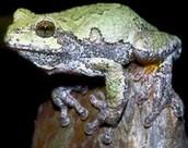 Grey's Tree Frog