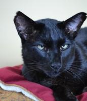 Bart the Oriental Black Cat