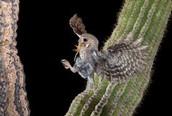 elf owl wing span