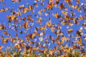 Monarch Butterfly's in migration