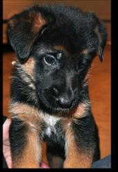 5 week German Shepherd Puppy