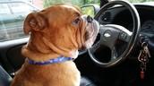 Churchill, my Old English Bulldogge