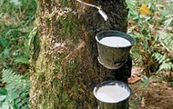 Rubber Cultivation