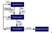 Hypothalamic-pituitary-thyroid negative/positive feedback system.
