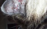 Cat's ears with scabs