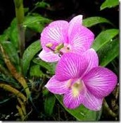 Flora (Cooktown Orchid)
