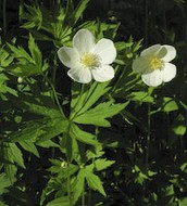 Canada Anemone Flower