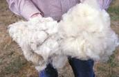 Wool (natural fiber)