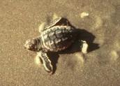 Loggerhead sea turtle Walking