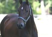 A Black Quarter Horse