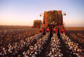 Cotton Being Picked