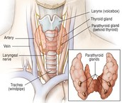 Throat Diagram Showing Thyroid and Parathyroid Gland(s)