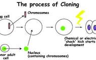 animal cloning procces