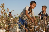 2 little boys picking cotton in the heat