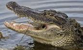 The American Alligator (A)