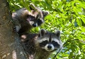 How Many Racoons Are There? Counting Animals with Mark-Recapture