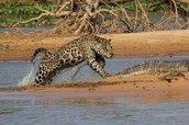 A jaguar poncing on its prey