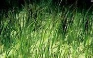 Paddle Grass