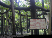 Information of the  great banyan tree