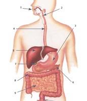 Digestion Diagram