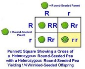 Random fertilization with pea plants
