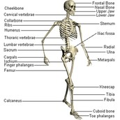 What make up the skeletal system