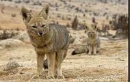 Desert Fox
