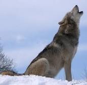 El lobo miedo