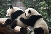where do pandas live!