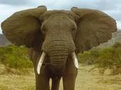 Awkward Encounter #1: When Fogg buys an elephant