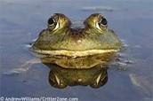 Sneaky Little Bullfrog!
