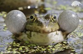 Funny frogs