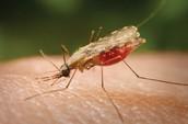 Bad mosquito's.